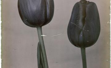 Verhaal van de Zwarte Tulp in het prentenkabinet